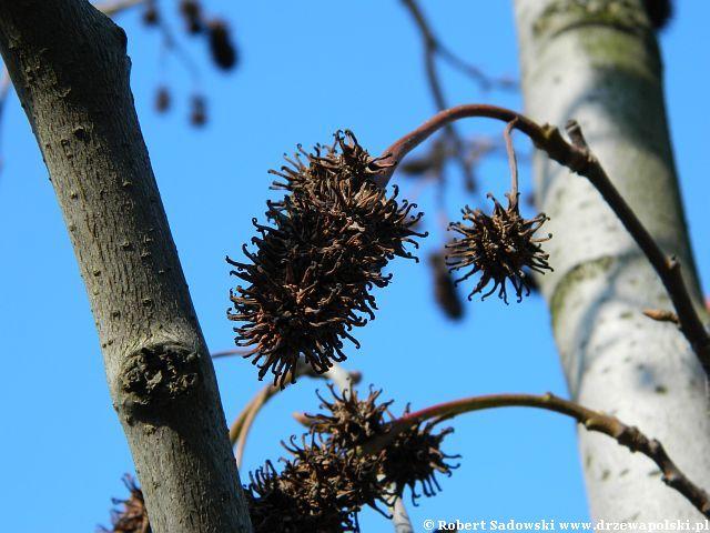 Ambrowiec balsamiczny owoce
