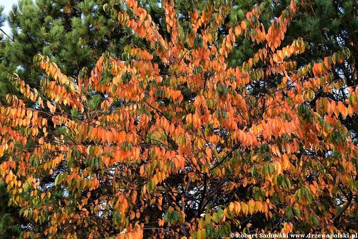 Czeremcha późna jesienią