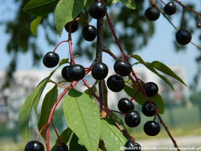 owoce czeremchy pospolitej