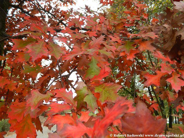 Dąb błotny jesienią