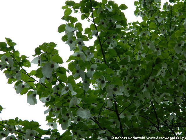 Drzewo chusteczkowe - dawidia chińska