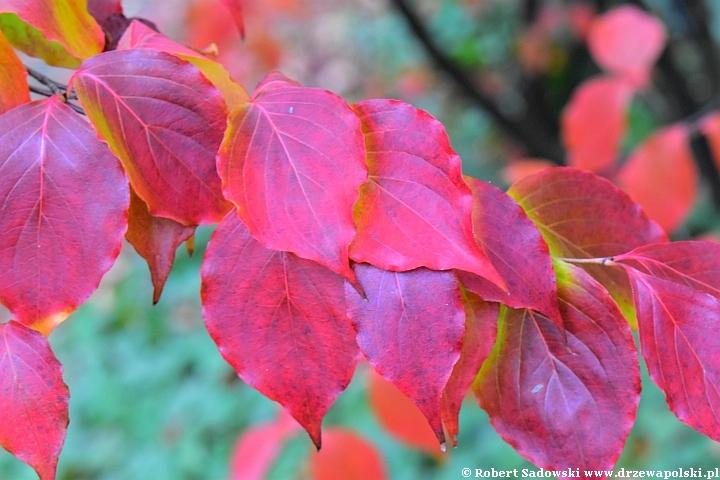 Dereń kousa jesienią