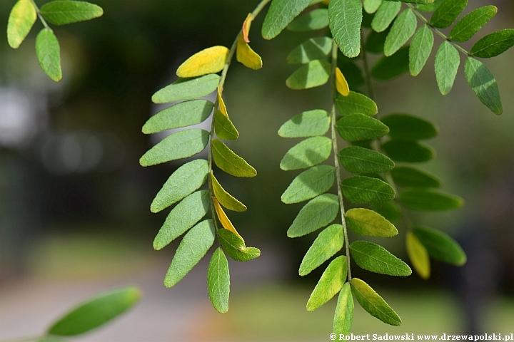 Glediczja - drzewo podobne do akacji