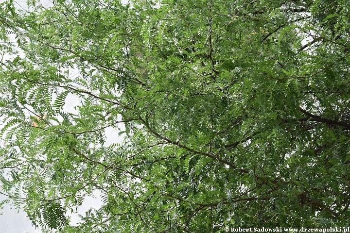 Glediczja z Łęczycy - pomnik przyrody