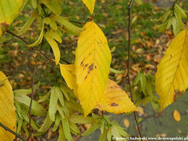 Grab pospolity jesienią