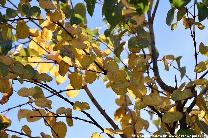 Grujecznik japoński - jesienne prebarwienia