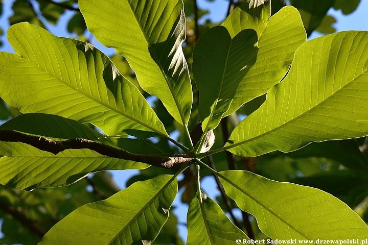 Magnolia lekarska odm. dwuklapowa