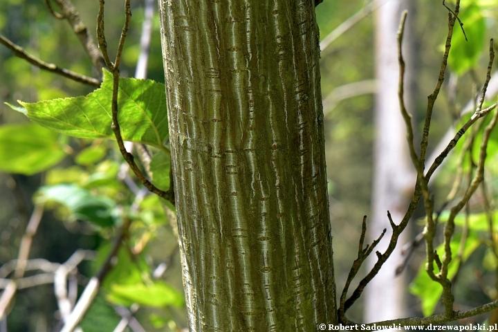 Klon zielonokory