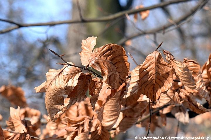 Drzewa, których liście wiszą aż do wiosny