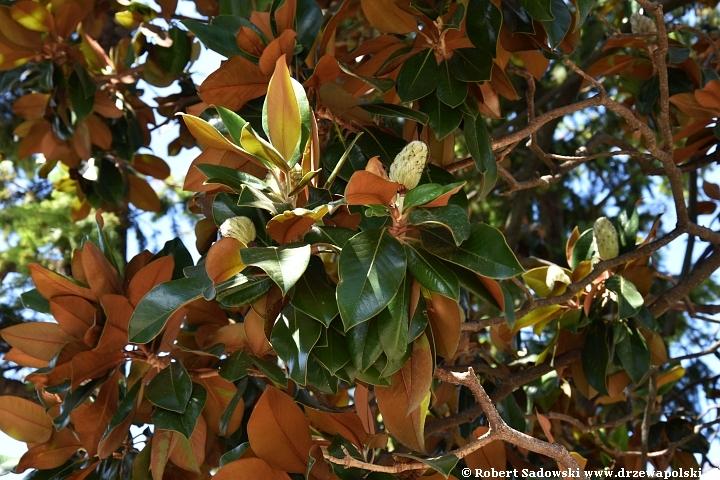 Magnolia wielkokwiatowa