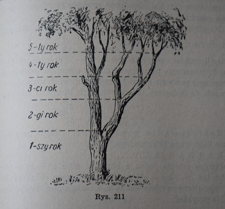 Drzewo - rozwój zgodny z ciągiem Fibonacciego