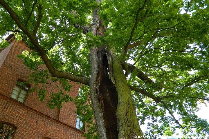 Najstarsze drzewa w Polsce - dąb Mikołaj z Fromborka