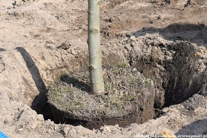 Jak sadzić duże drzewa