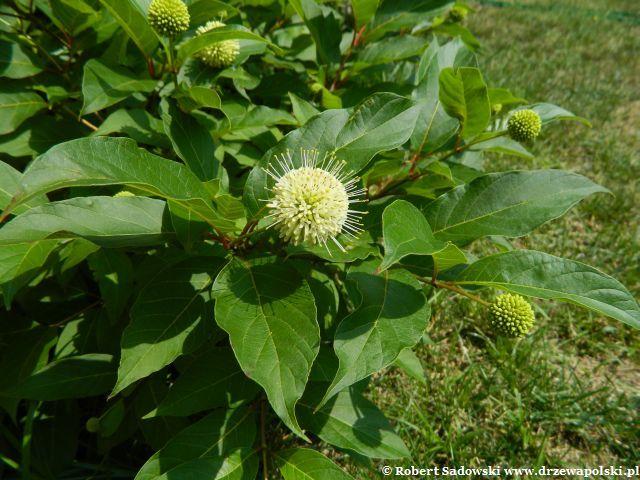 Kwiaty - guzikowiec zachodni