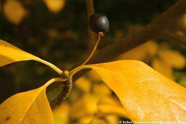 Jagodowe owoce błotnia leśna