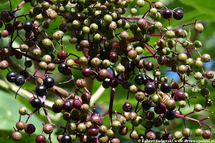 Jagodowe owoce czarny bez