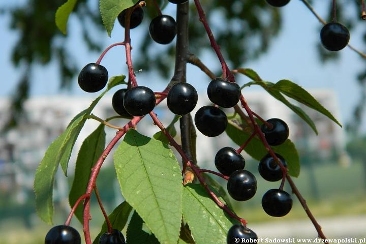 Jagodowe owoce czeremcha zwyczajna
