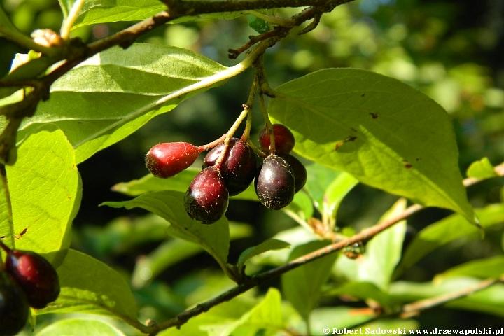 Jagodowe owoce irga jamkowata