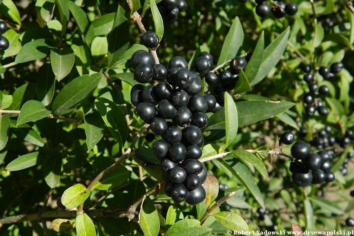 Jagodowe owoce ligustr pospolity