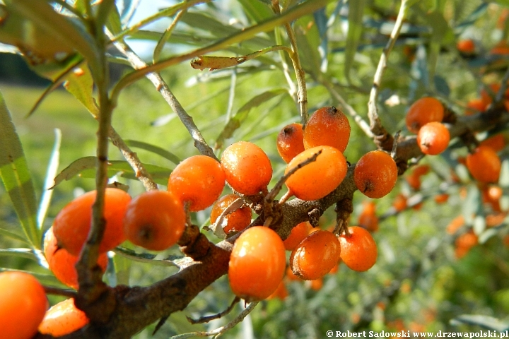 Jagodowe owoce rokitnik zwyczajny