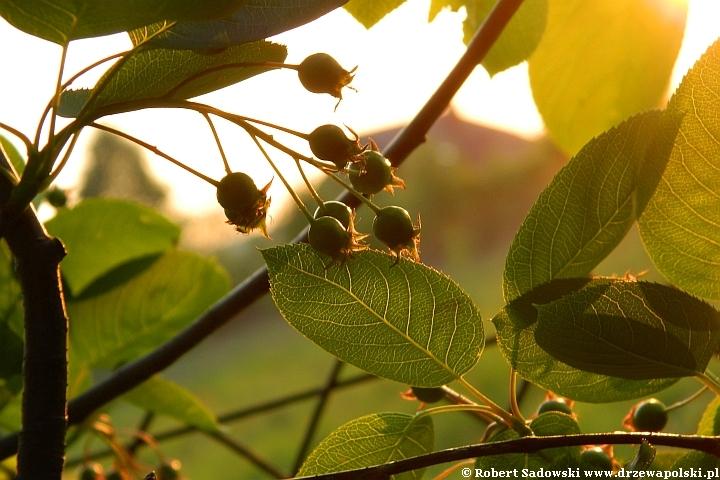 Jagodowe owoce świdośliwa