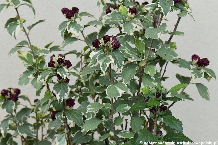 Ketmia syryjska 'purpureus variegatus'