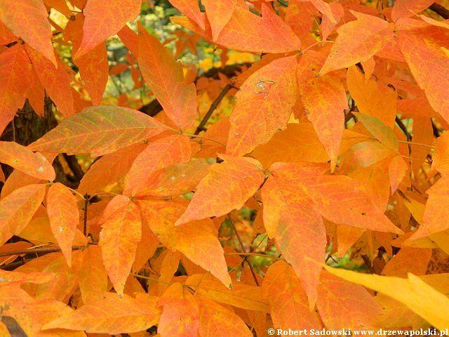 Pomarańczowy klon trójkwiatowy