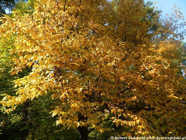 Magnolia gwiaździsta do 3 metrów