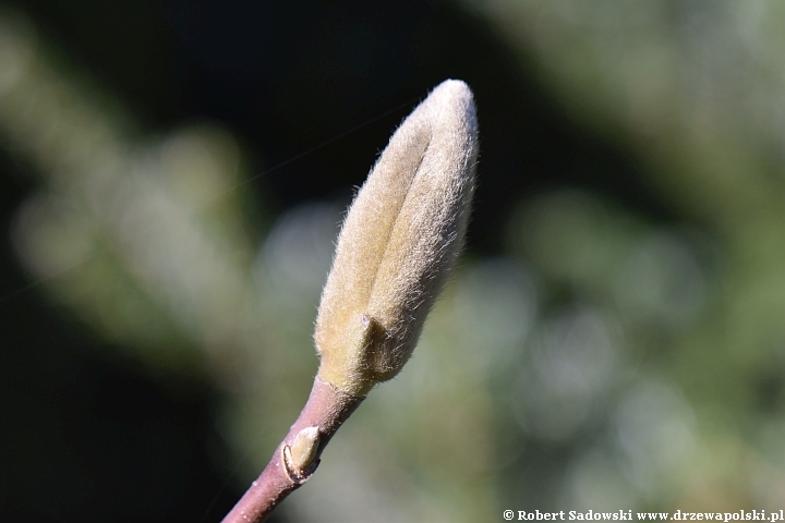 Pąki magnolii