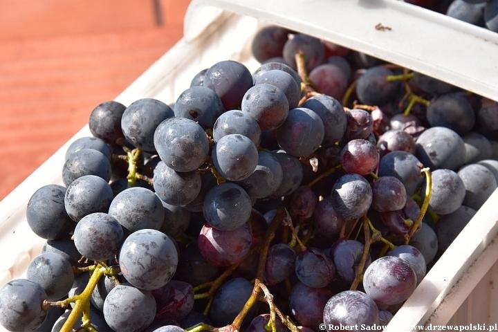 Nalewka z winogrona