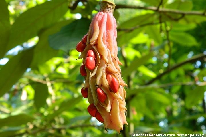 Magnolia Wilsona