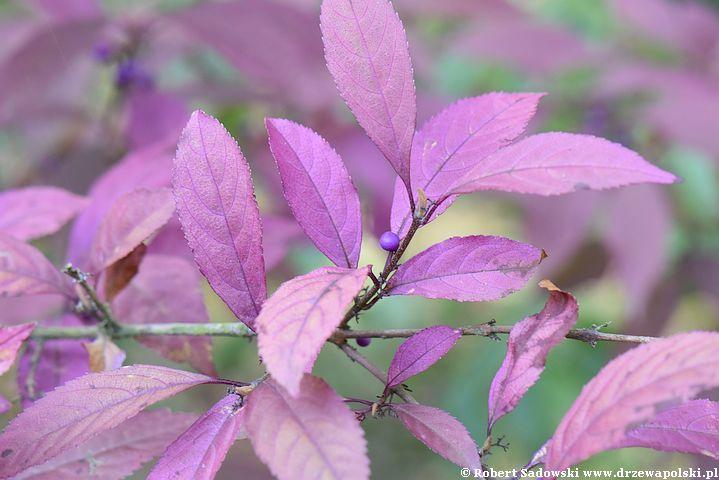 Pięknotka japońska