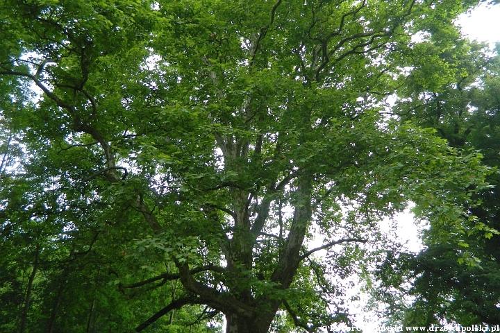 Jak długo żyją drzewa w Polsce?