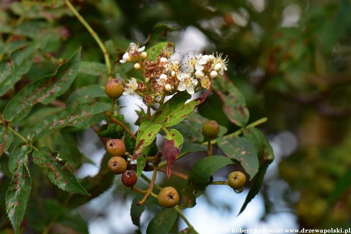 Jarząb ponawia kwitnienie