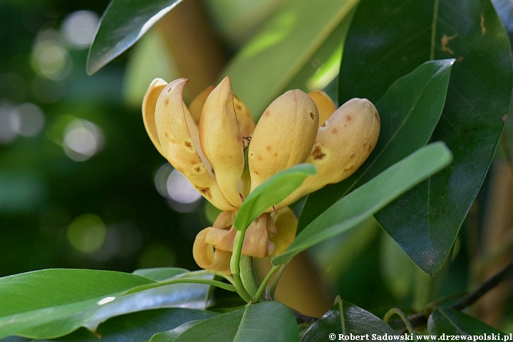 Magnolia sina