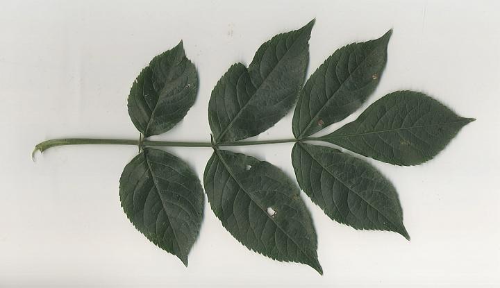 bez czarny liść