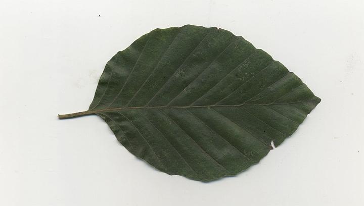 liść - buk zwyczajny
