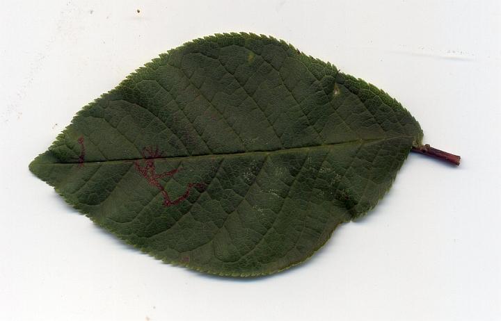 czeremcha pospolita