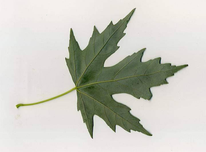 klon srebrzysty spód liścia