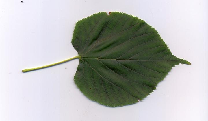 lipa drobnolistna