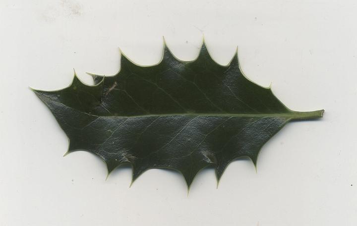 ostrokrzew kolczasty