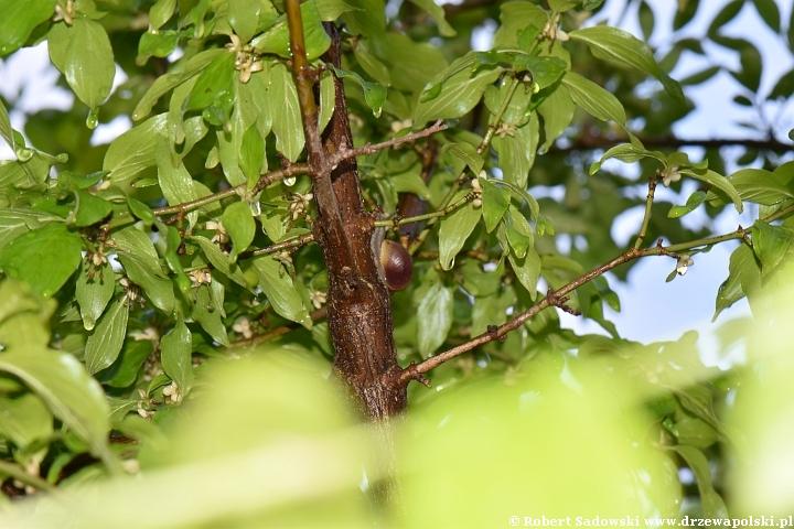 ślimaki wchodzą na drzewa