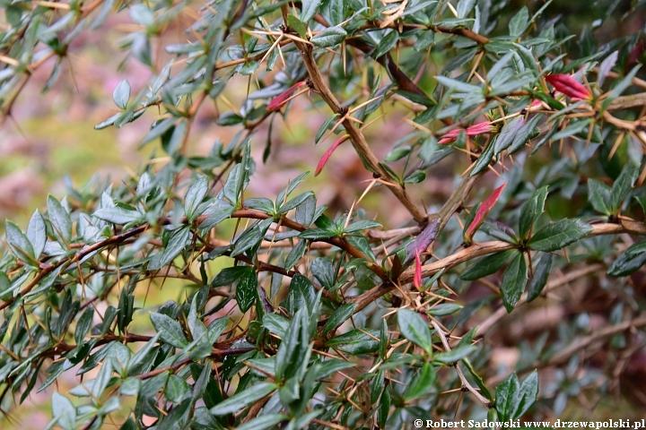 Drzewa i krzewy liściaste zimozielone