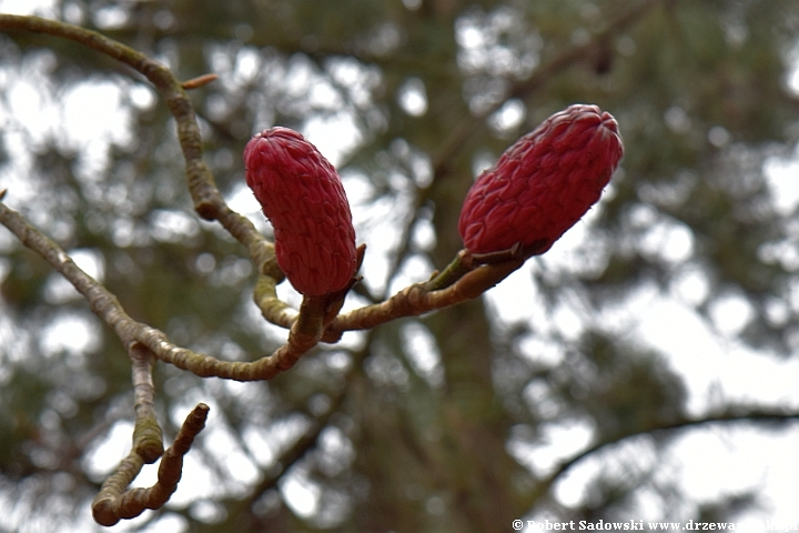 Magnolia lekarska