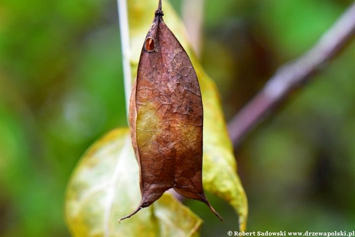 Kłokoczka kolchidzka