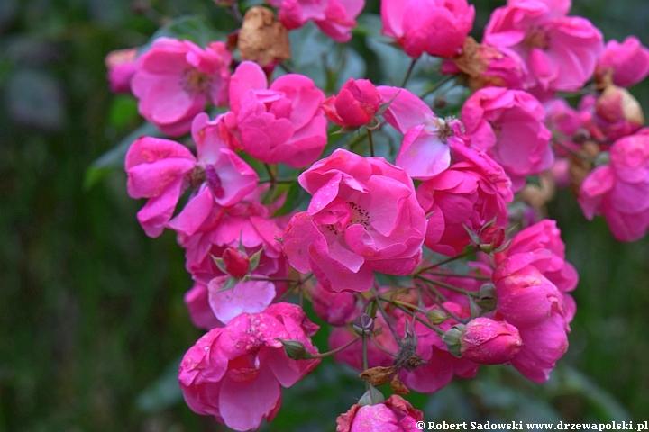 Róża Alabaster