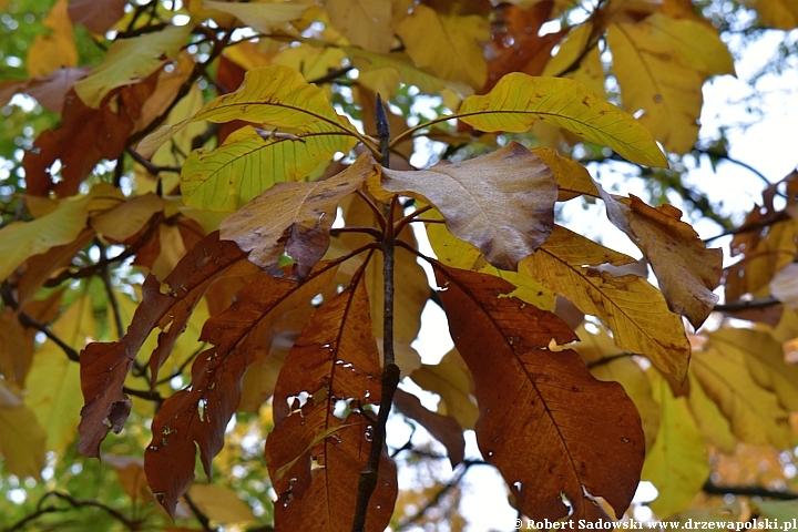 Magnolia szerokolistna