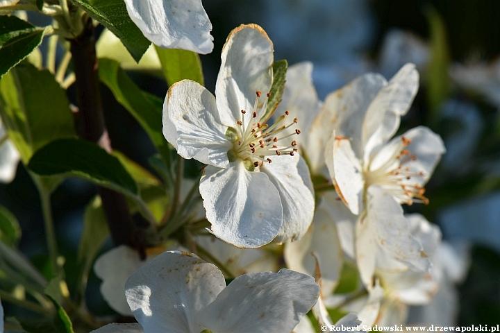 Jabłoń południowochińska - kwiaty