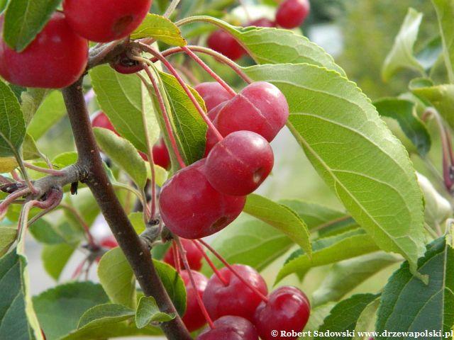 Jabłoń południowochińska