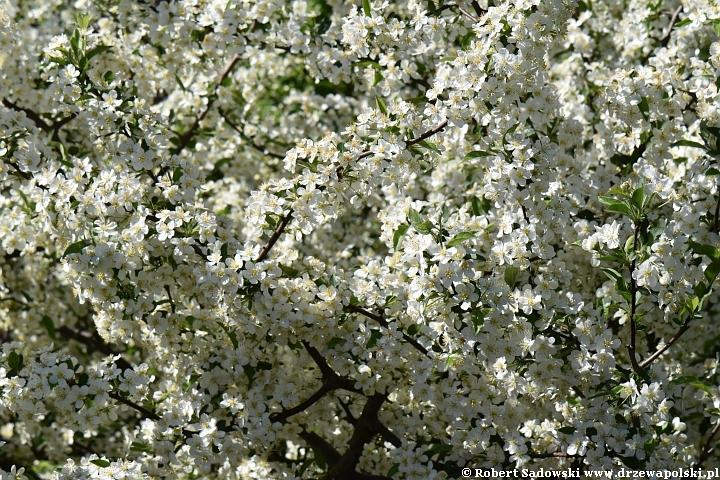 jabłoń Sargenta - kwiaty